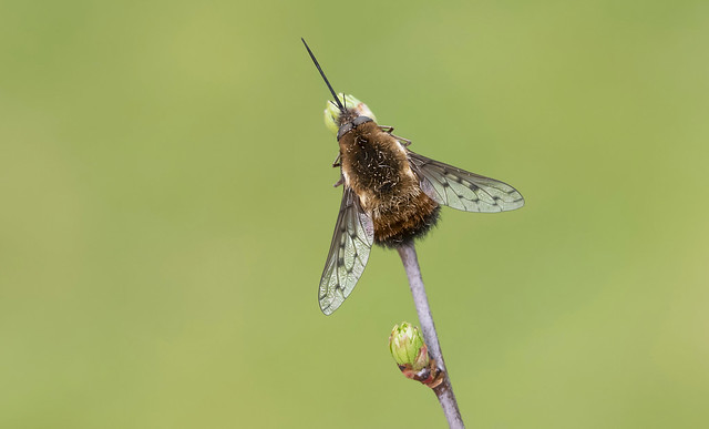 Dotted Bee-fly (Bombylius discolour).