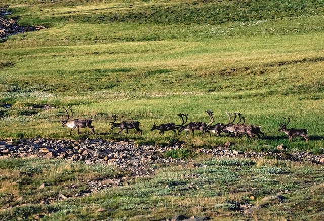 Caribou Migration in the Brooks Range