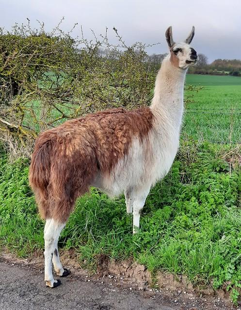 More Drama with the Llama..