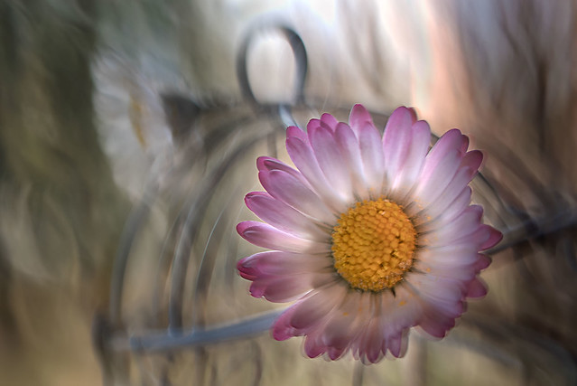 A smiling daisy