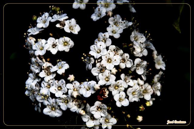 IMG_2436_White Flowers