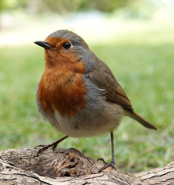 365 - Image 102 - Robin...