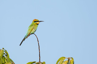 Rainbow Bee-eater | by petefeats