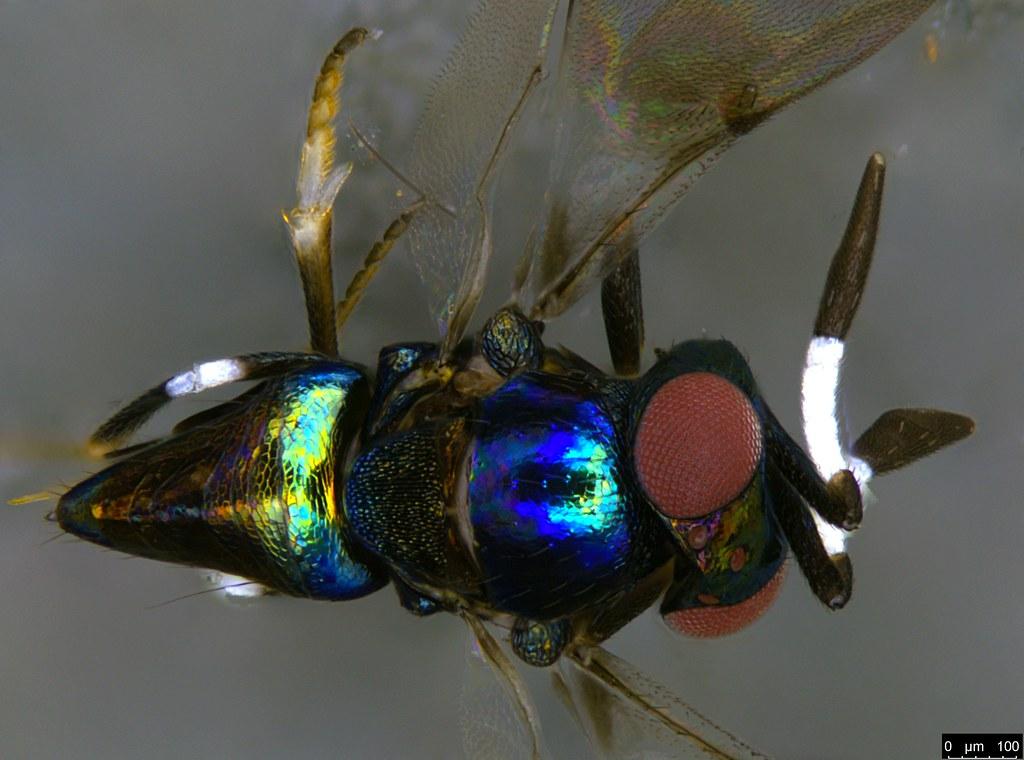 31d - Hymenoptera sp.