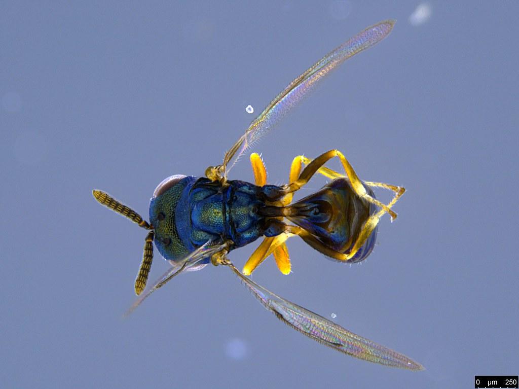 32a - Chalcidoidea sp.