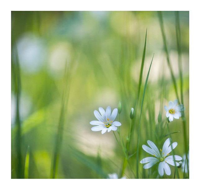 Wiesen-Blumen