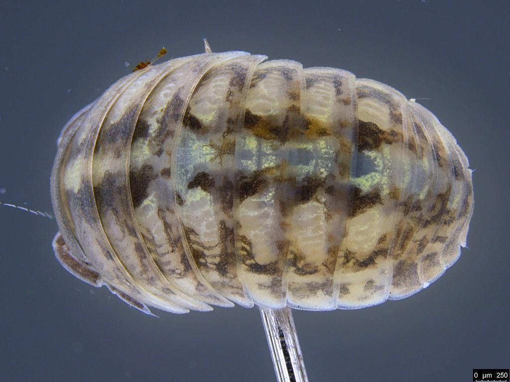 37c - Armadillidium vulgare Latreille, 1804