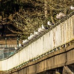 Gulls perched on the Old Tram Road bridge