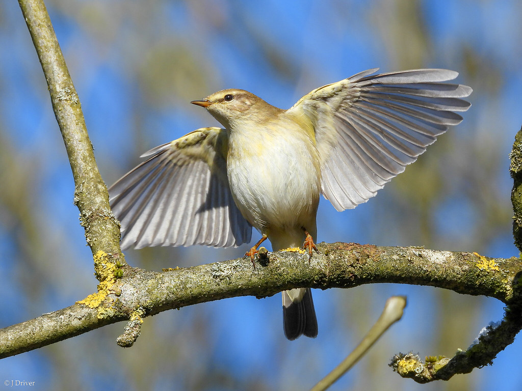Willow Warbler wing flapping