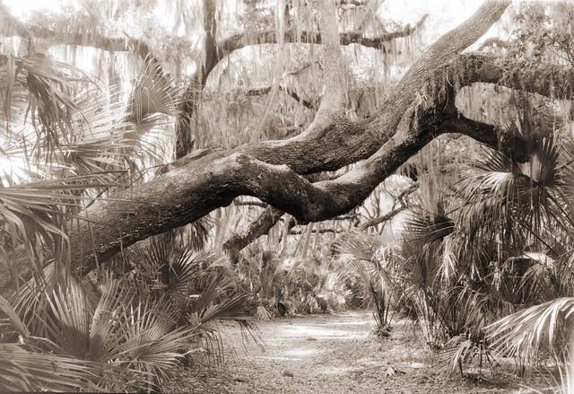 Florida Woodland. (The Leaning Oak) Explored