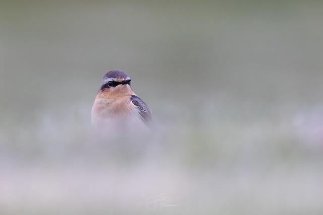 Traquet motteux mâle - Male Northern wheatear #2