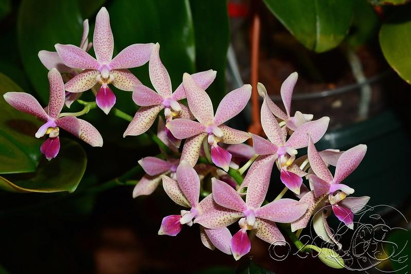 Phalaenopsis pallens x equestris (GK's Pallestris) 51112283862_f45a870e69_c
