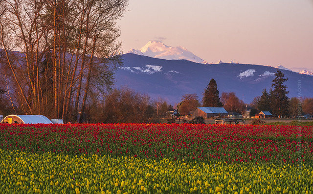 Mount Baker and Skagit Tulip Fields