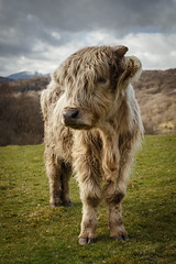 Capel Curig Cow - Snowdonia - Wales  (由  Nick Livesey Mountain Images