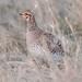 248A3833 hen sharptail grouse