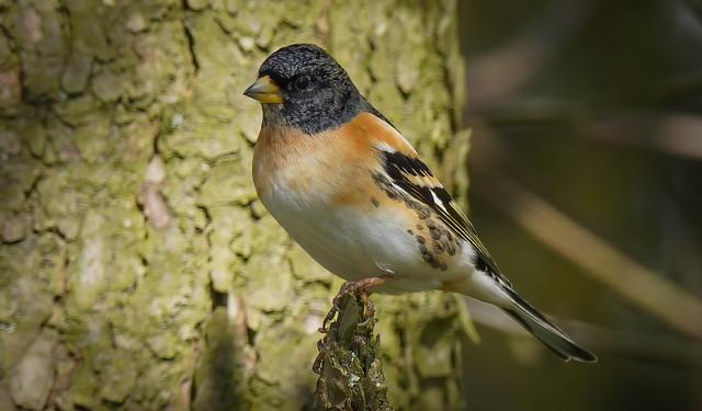 Bramble Finch