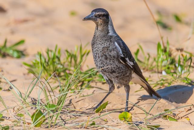 Juvenile Magpie in the sand dunes