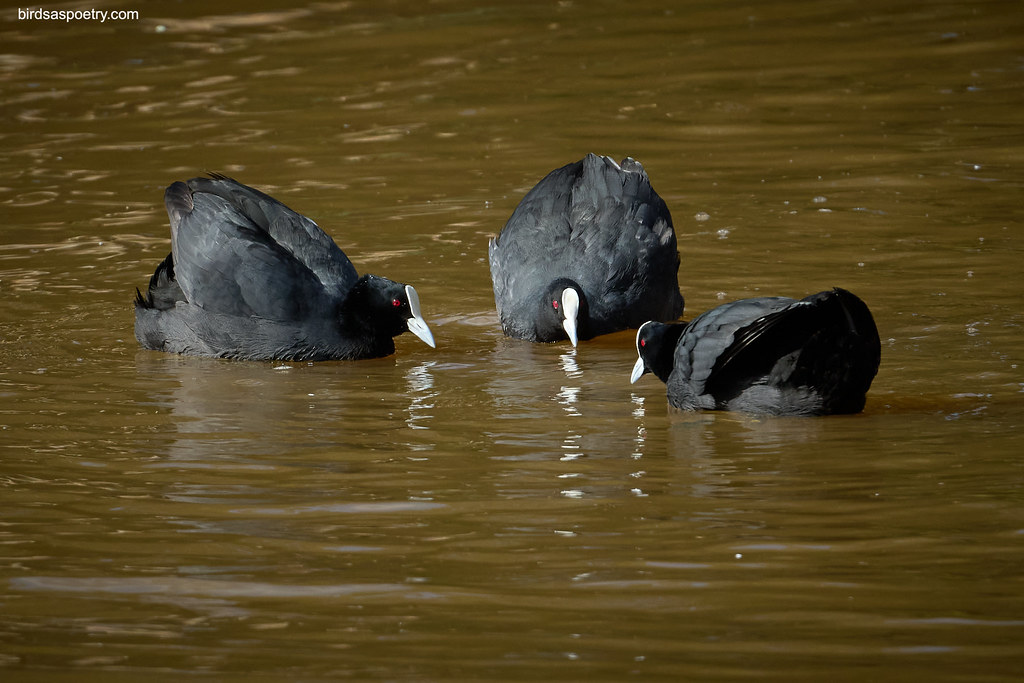 Eurasian Coot: Hockey One, Hockey Two...
