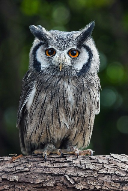 White-faced owl head on