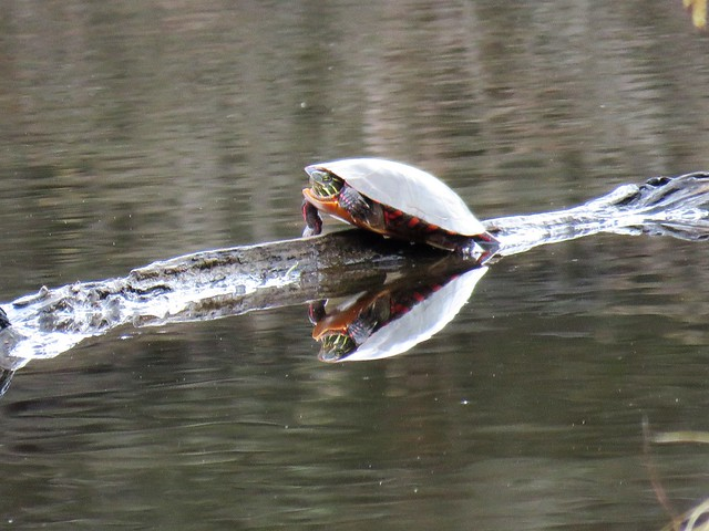 Basking Turtle  IMG_5571