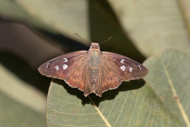 Hammock Skipper (Polygonus leo pallida)