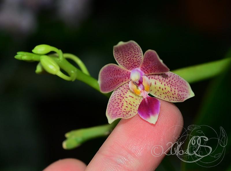 Phalaenopsis pallens x equestris (GK's Pallestris) 51112607284_8b75164cd8_c