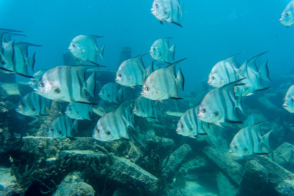 School of Spadefish