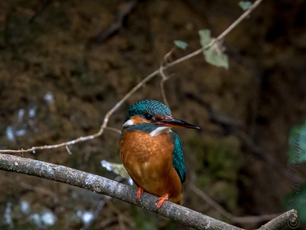 Blauet - Martin pescador - Common kingfisher - Martin-pêcheur d'Europe - Alcedo atthis