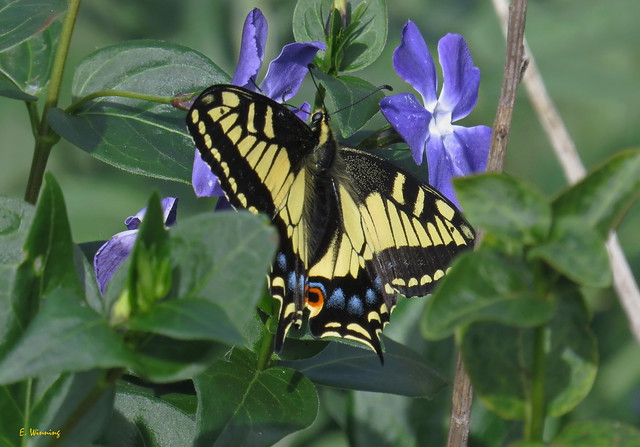 Tiger Swallowtail on Periwinkle 2589