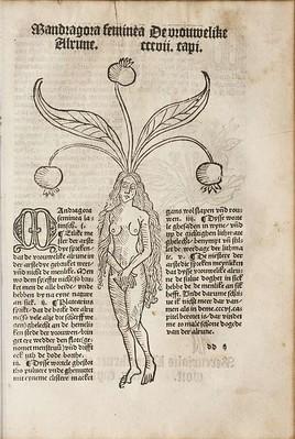 Hortus-sanitatis-mandragora-feminea
