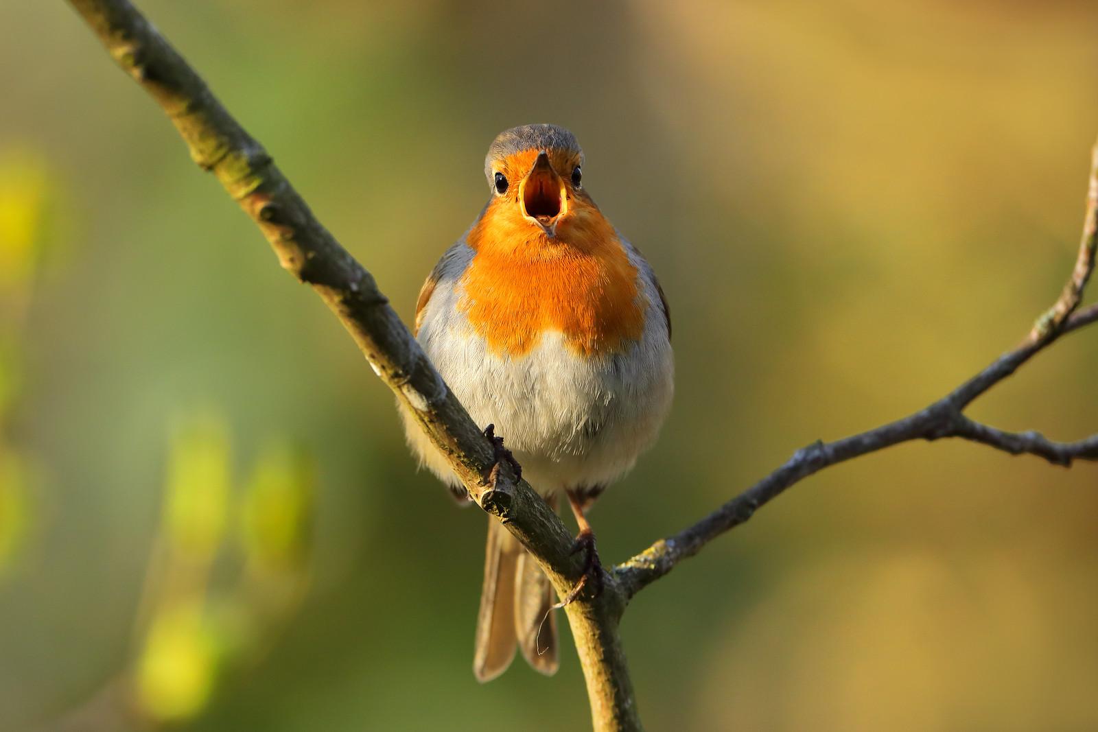 Robin, St Ann's Well Gardens