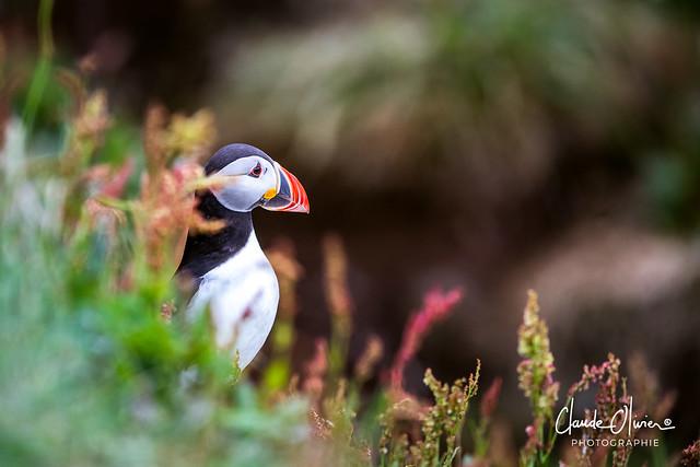 Macareux moine / Puffin, Scotish Puffin ( Fratercula arctica), Lunga island, Scotland