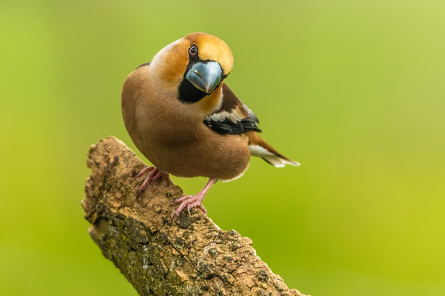 a Hawfinch  with an attitude