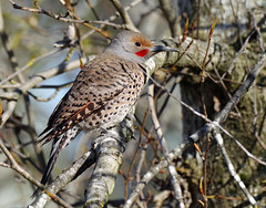 Northern Flicker - Colaptes auratus - Chilliwack - Apr 12-21