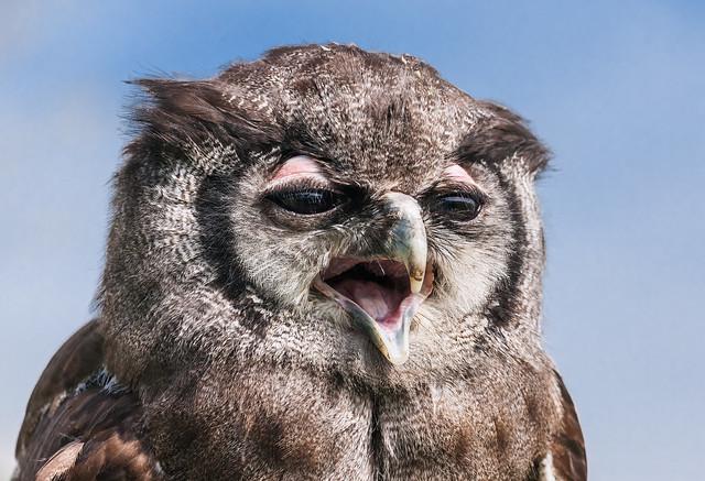 Verreaux's Eagle Owl close-up portrait