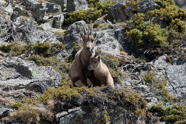 L'étagne et son cabri  (Bouquetin des Alpes Capra ibex)
