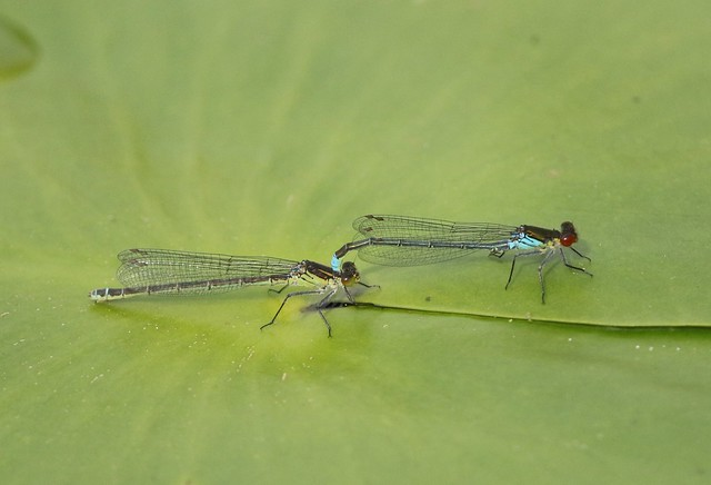 Red-eyed Damselfly (Erythromma najas) Pair