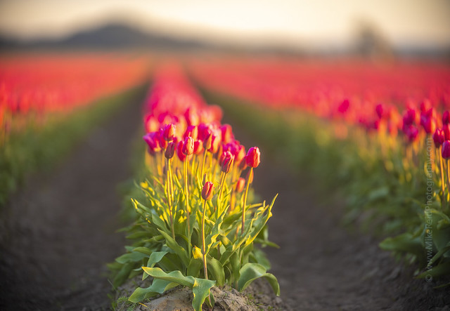 Skagit Tulips Canon 200mm 1.8