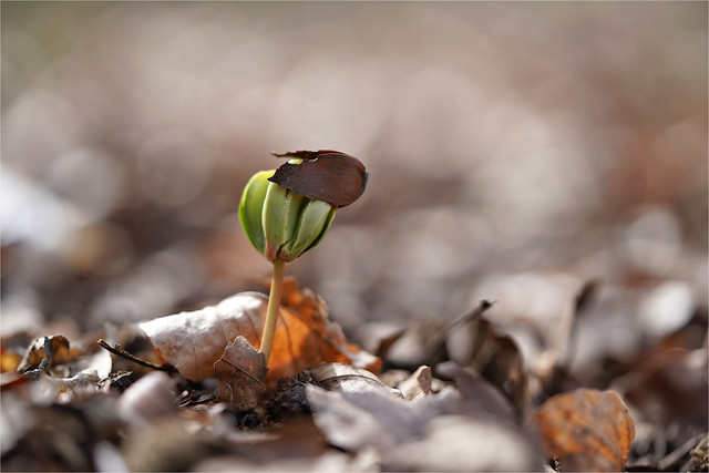birth of a beech