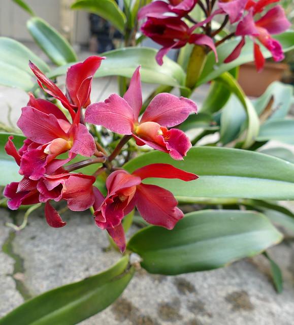 Cattlianthe India Rose Sherwood 'Kiilani' hybrid orchid 3-21