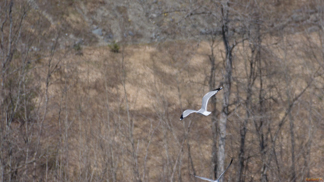 Goéland a bec cerclé - Rung-billed Gull, Beauce, Canada - 4032