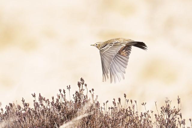 Meadow Pipit in flight