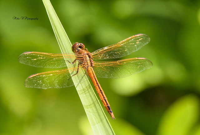 Needham's skimmer Dragonfly