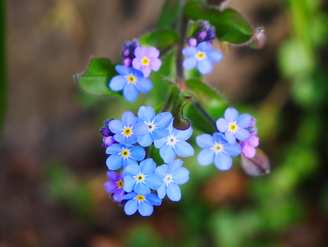 Forget me not's