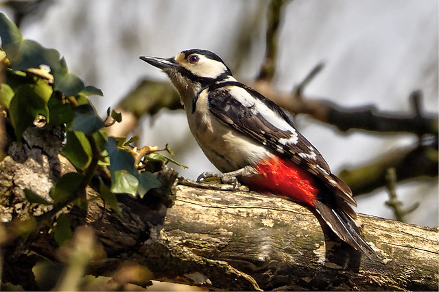 Greater Spotted Woodpecker 1
