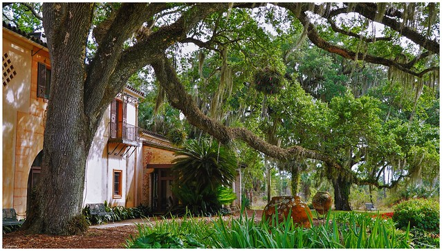 Grandfather Tree at Pinewood Estates