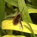 Bee-fly (Bombylius major)