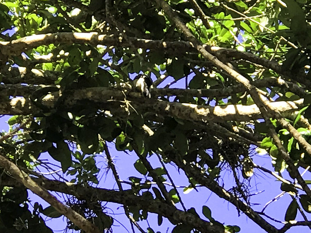 A Baby Woodpecker in the Live Oak Tree Not the Best Photo But Worth RememberingIMG_4904