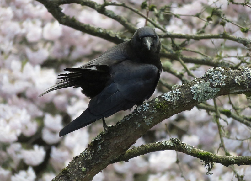 """Demon Crow """"what are you looking at???"""" (cherry blossoms in the background)"""