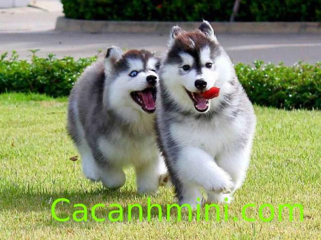 Cười bể bụng với những hình ảnh chó Alaska ngộ nghĩnh